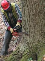 Чем толще дерево – тем большие меры предосторожности требуются