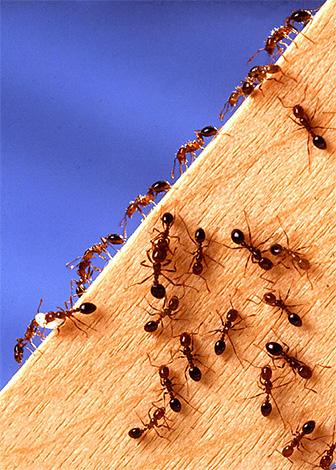 Черные муравьи в деревянном доме могут стать бедствием