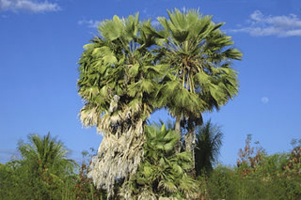 Из сока листьев карнаубской пальмы получают одноименный воск
