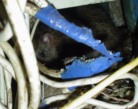 Крысы и мыши способны прогрызать не только изоляцию проводов, но и кабельные каналы из пластика.