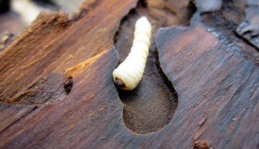 Личинка жука-короеда