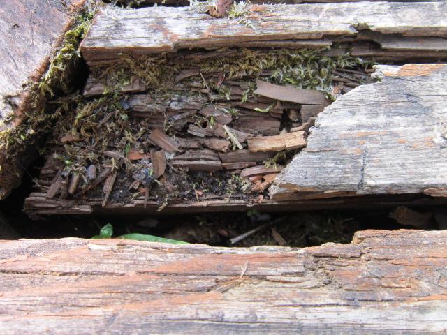 Разрушение древесины вредоносными микроорганизмами.