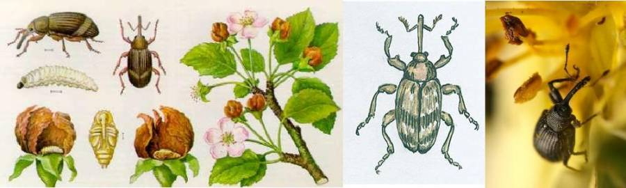 Яблонный цветоед: именно против него и направлена большая часть мероприятий
