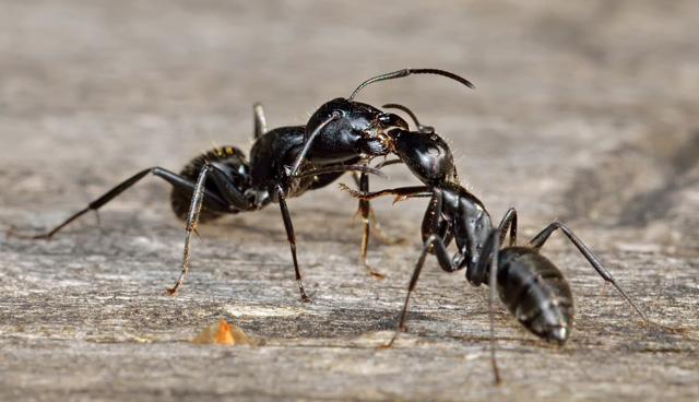 Черные большие муравьи в деревянном доме обычно делают гнезда в стенах