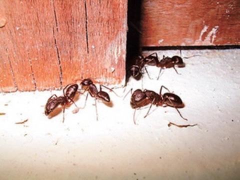 Как бороться с муравьями в деревянном доме токсинами и народными средствами