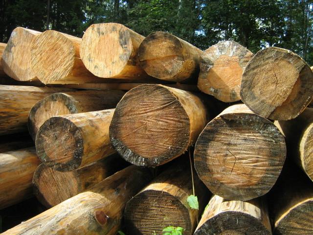 На фото показаны грибковые поражения бревен во время заготовки древесины.